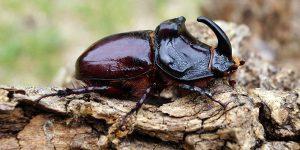 Escarabajos que pican y sus peligros