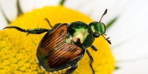 Anatomía de los escarabajos