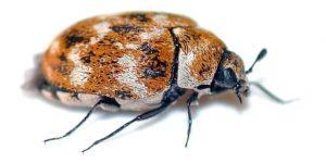 Escarabajo de la alfombra